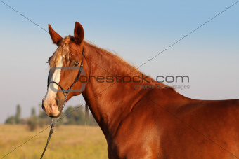 Portrait of a red horse with a white blaze