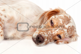 Beautiful English Setter with brown spots