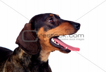 Beautiful dog teckel yawning