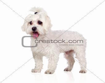 Beautiful white Bichon Maltese
