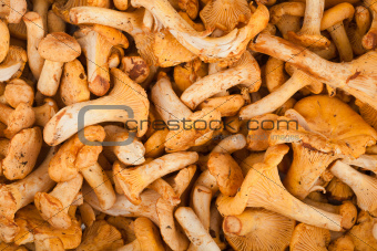 Fresh chanterelle mushrooms