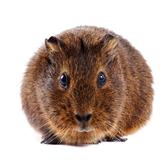 Brown guinea pig