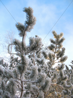 winter forest, Snow and trees