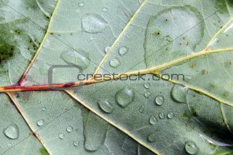 Leaf in Rain