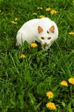 white cat_1
