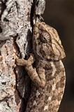 chameleon climbing