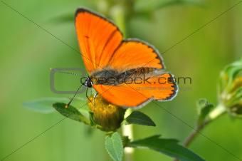 Butterfly (Colias tsrotseus)