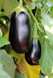 purple eggplants growing on the bush