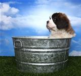 Adorable Saint Bernard Pup 