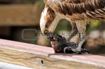 Osprey (Pandion,haolaetus)