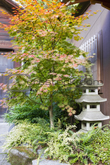 Japanese Maple Tree with Stone Pagoda Lantern