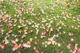 Fallen Maple Tree Leaves on Field of Moss