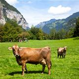 Swiss Cows in a grass field