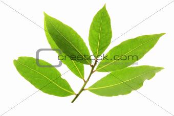 bay laurel leaves (Laurus nobilis)