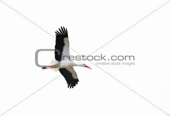 Isolated stork in flight