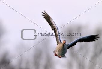 A startled gray goose