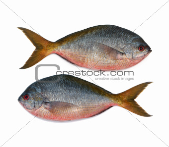 Yellowtail fusilier fish isolated on white background