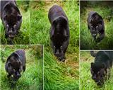 Compilation of five images of beautiful black jaguar Panthera Onca