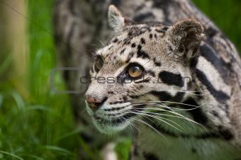 Clouded leopard Neofelis Nebulova big cat portrait