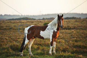 Close up of brown and white New Forest pony horse at sunrise in