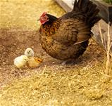 Spring chickens bantam hen with chicks 