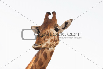 Giraffe head