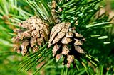 Two cones on a pine