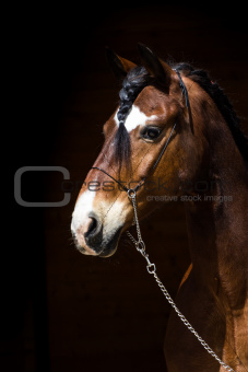 Portrait of dark bay horse