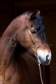 Portrait of dark bay horse