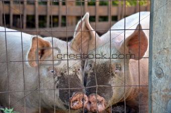 pigs in pig pen