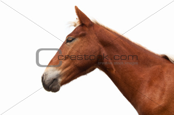 horse head isolated