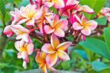 frangipani flowers in garden