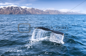A humpback whale's tail