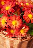 Chrysanthemum in a basket