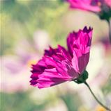 Cosmos Flower