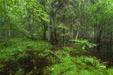 Early morning in deciduous stand of Bialowieza Forest