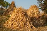 Dry corn ears stacks
