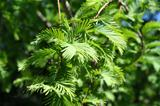 Chinese Redwood