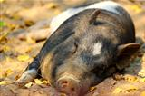 pig laying on the ground