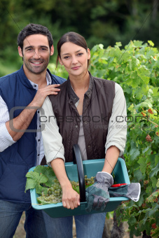 Picking grapes during harvest time