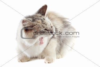 aggressive maine coon cat