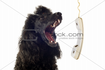 poodle and phone