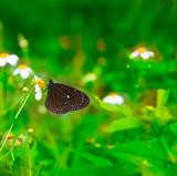 black butterfly working on the flowers