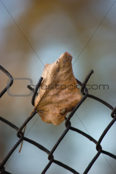 Fallen yellow autumn linden limetree leaf caught on rusty wire m