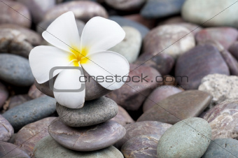frangipani on a stack of rocks