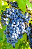 Grapes in vineyard in Balaclava