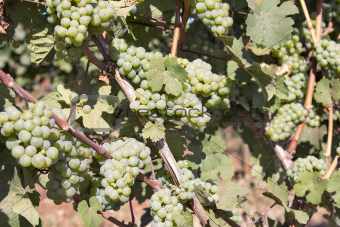 Green Grapes Growing on Grapevines