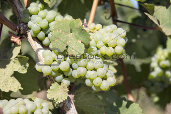 Green Grapes Growing on Grapevines Closeup