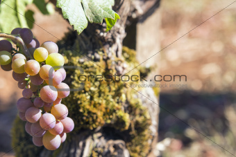Champagne Grapes Closeup