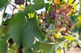 Colorful Grapes Growing on Grapevine